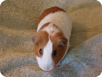 Guinea Pig for adoption in Fullerton, California - Kazumi