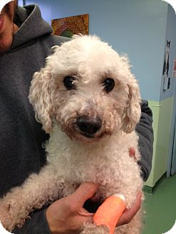Poodle (Miniature) Mix Dog for adoption in New York, New York - Snugz