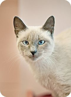 Siamese Cat for adoption in Carencro, Louisiana - Catalina