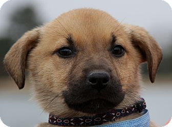 German Shepherd Dog Mix Puppy for adoption in Stamford, Connecticut - Bentley