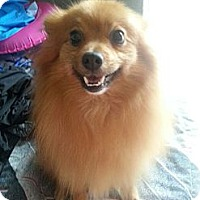 Adopt A Pet :: Mc Fluffy aka carlos - Shelton, WA