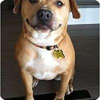 Adopt A Pet :: BLONDIE - Dennis, MA