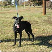 Adopt A Pet :: Midnight - Brattleboro, VT