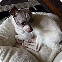 Adopt A Pet :: Duff - Chicago, IL