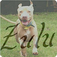Adopt A Pet :: Zulu - New Orleans, LA