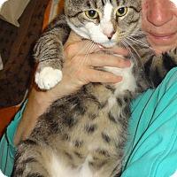 Adopt A Pet :: JONNY BOY-CUDDLY LAPCAT'15 - New York, NY