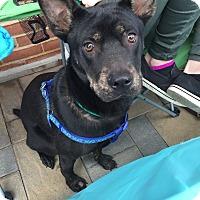 Adopt A Pet :: Hercules *I'm overlooked!* - Manassas, VA
