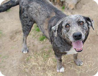Catahoula Leopard Dog/Cattle Dog Mix Dog for adoption in Iola, Texas - Sara
