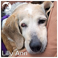 Adopt A Pet :: Lilly Ann - Pittsburgh, PA