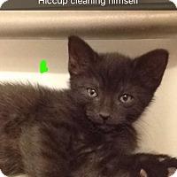 Adopt A Pet :: KITTENS, KITTENS, KITTENS - Dale City, VA