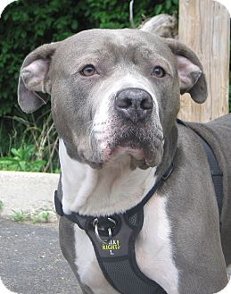 Staffordshire Bull Terrier Mix Dog for adoption in Hobart, Indiana - Greyson (Apollo)