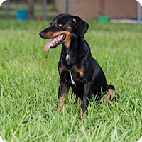 Manchester Terrier/Dachshund Mix Puppy for adoption in BROOKSVILLE, Florida - LENNY