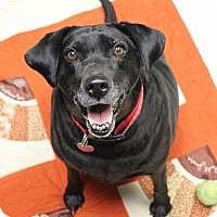 Labrador Retriever Mix Dog for adoption in Yukon, Oklahoma - Eva