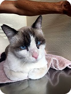 Snowshoe Cat for adoption in North Las Vegas, Nevada - Travis