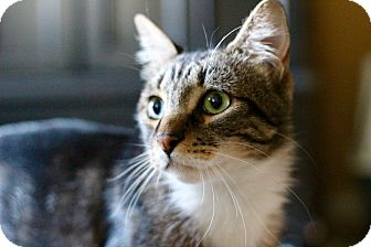Maine Coon Cat for adoption in Los Angeles, California - Tito
