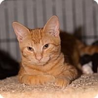 Adopt A Pet :: Saffron - Brooklyn, NY