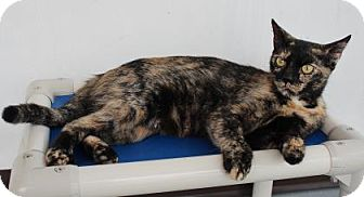 Domestic Shorthair Cat for adoption in Venice, Florida - Keira