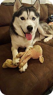 Siberian Husky Dog for adoption in Horsham, Pennsylvania - Sputnik