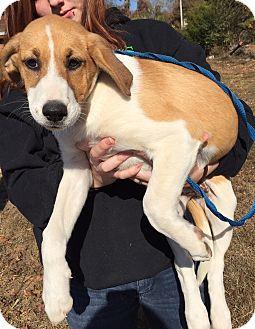 Collie/Labrador Retriever Mix Puppy for adoption in Allentown, Pennsylvania - Percy