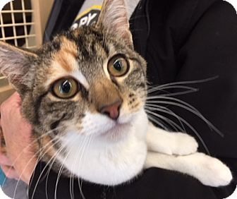 Calico Kitten for adoption in Meridian, Idaho - Jelly Beans