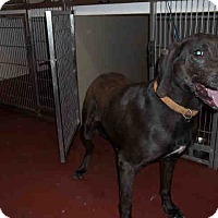 Labrador Retriever Mix Dog for adoption in Newnan City, Georgia - Coal