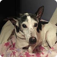 Rat Terrier Mix Dog for adoption in Flossmoor, Illinois - Vincent