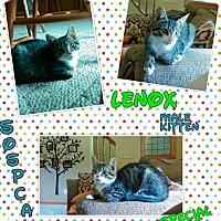 Domestic Shorthair Cat for adoption in Zanesville, Ohio - Lenox