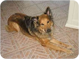 Australian Shepherd Mix Dog for adoption in Orlando, Florida - Brandi