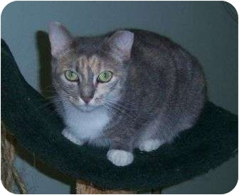 Domestic Shorthair Cat for adoption in Cocoa, Florida - Cupcake