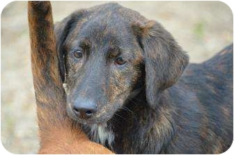 Labrador Retriever/Gordon Setter Mix Puppy for adoption in New Boston, New Hampshire - Madison