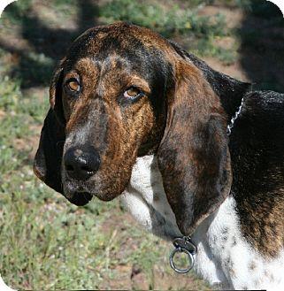 Treeing Walker Coonhound/Plott Hound Mix Dog for adoption in Sacramento area, California - Everlovin' Luke