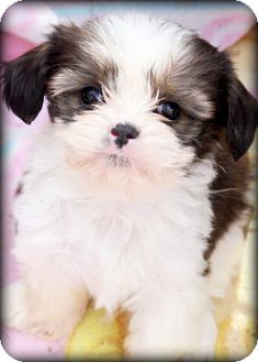 king charles spaniel shih tzu mix thomas adopted puppy weatherford tx cavalier king 2413