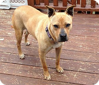 Boxer/Shepherd (Unknown Type) Mix Dog for adoption in Upper Saddle River, New Jersey - Kelley