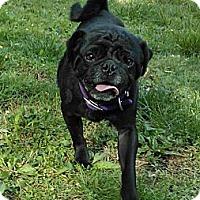 Adopt A Pet :: Micky - Avondale, PA