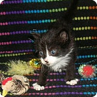 Adopt A Pet :: Feral Kitten #3 - Yakima, WA