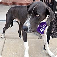 Adopt A Pet :: Digger - Bridgeton, MO