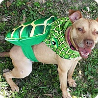 American Pit Bull Terrier Mix Dog for adoption in Lake Charles, Louisiana - Nala