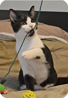 Domestic Shorthair Kitten for adoption in Blairstown, New Jersey - CP - NC - Candy