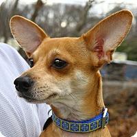 Adopt A Pet :: Dingo - Oakland, NJ