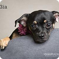 Adopt A Pet :: Gia - Chandler, AZ