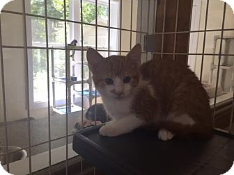 Domestic Shorthair Kitten for adoption in Cashiers, North Carolina - Larry