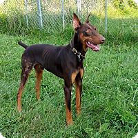 Doberman Pinscher Dog for adoption in New Richmond, Ohio - Diego