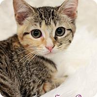 Adopt A Pet :: Sweet Pea $85 Female Kitten - knoxville, TN