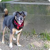 Adopt A Pet :: EARL GREY - Boston, MA
