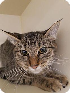 Domestic Shorthair Cat for adoption in Idaho Falls, Idaho - Elenor
