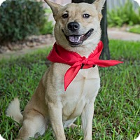 Shiba Inu Mix Dog for adoption in Houston, Texas - Lu Ann