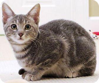 Domestic Shorthair Kitten for adoption in Columbus, Ohio - Scarlette