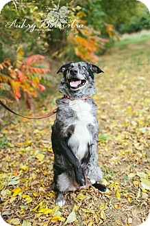 Catahoula Leopard Dog/Australian Shepherd Mix Dog for adoption in Stanton, Michigan - Wesley-Rescue Only!