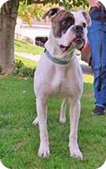 Boxer Dog for adoption in Chantilly, Virginia - Duke