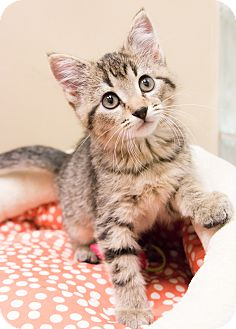 Domestic Shorthair Kitten for adoption in Chicago, Illinois - Miss Rizzo